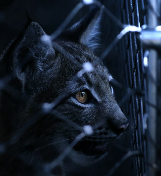 Le lynx, un animal exceptionnel