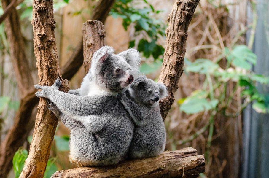 Les koalas d'Australie en danger