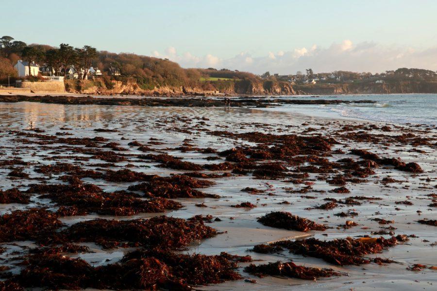 En Bretagne, il n'y a pas que les algues vertes !