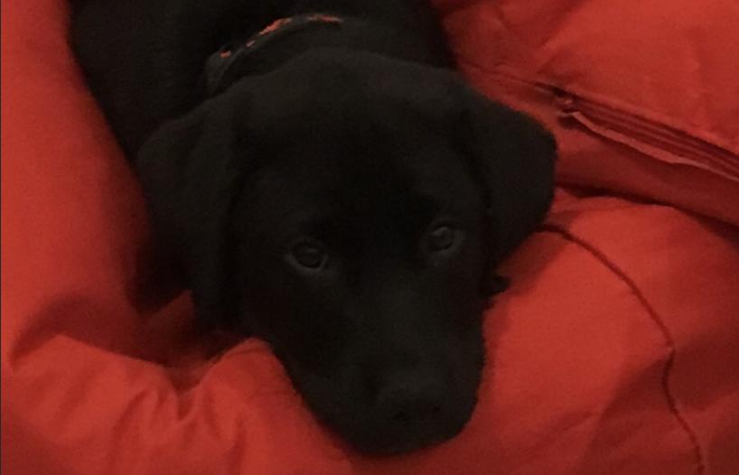 Ranger, l'apprenti chien guide d'aveugle de notre classe